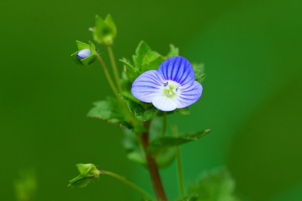 Speedwell Image by PollyDot from Pixabay